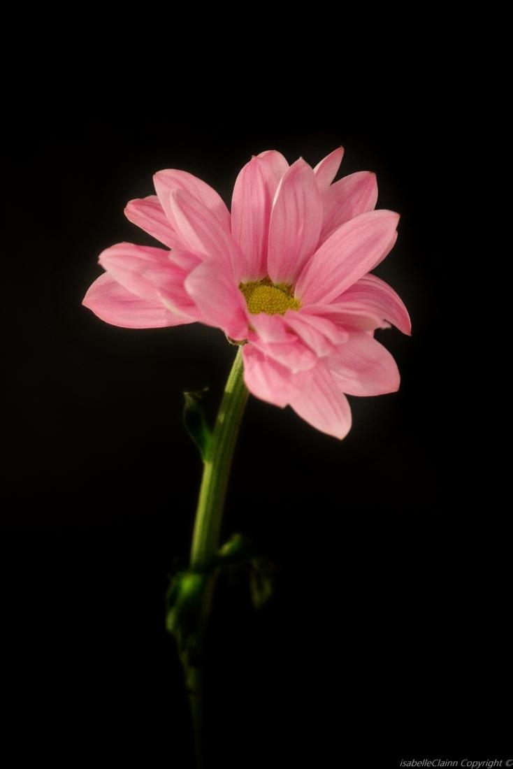 fleurs rose 1 a f2p.jpg