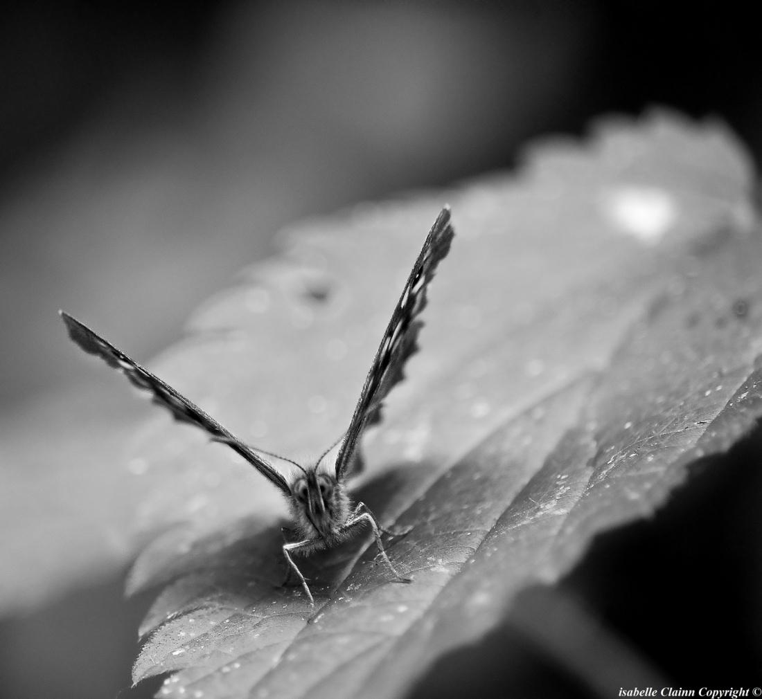 papillon 1 f2p.JPG