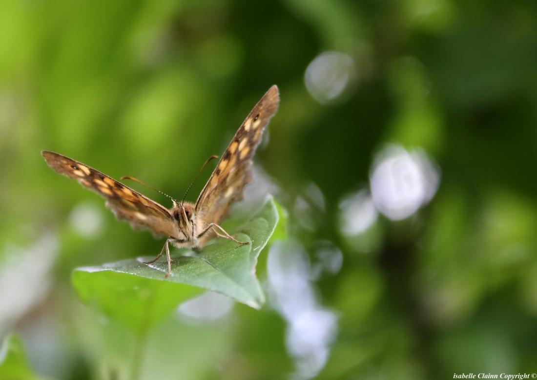 papillon 2 copy f2p.jpg