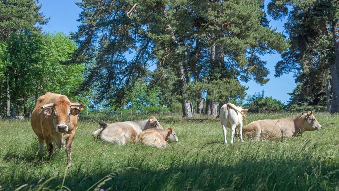 les vaches(2).jpg