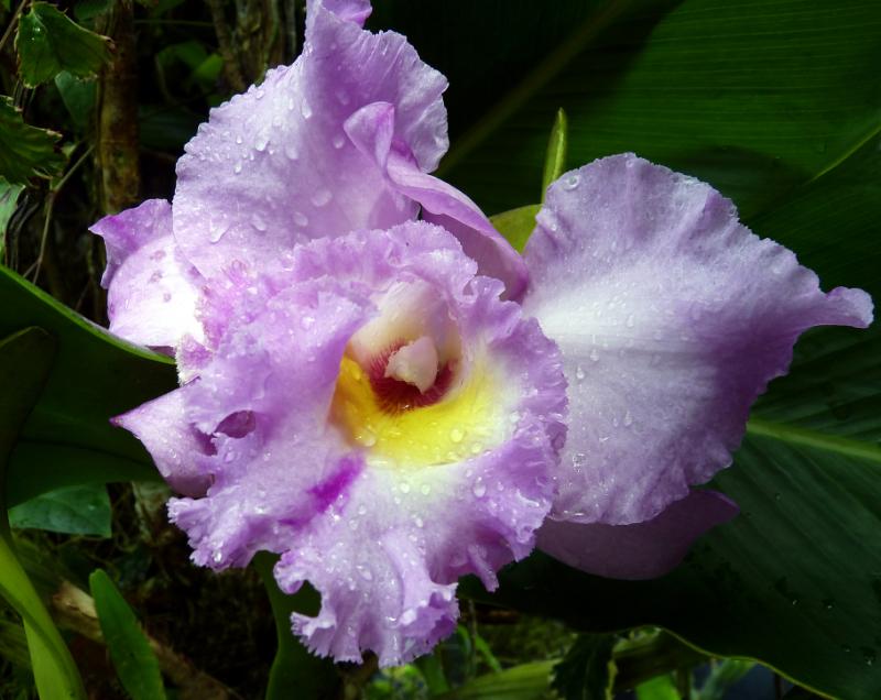 OrchidéePluie3Yvon.JPG