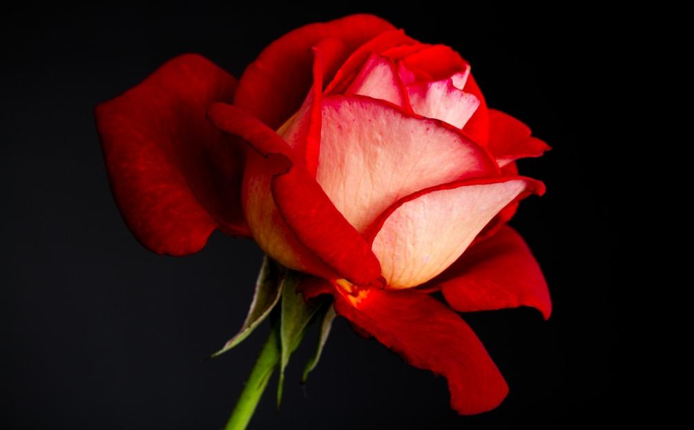 170820_rose_02-1_1500p.jpg
