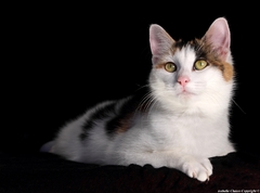 Khaleesi, chat tricolore