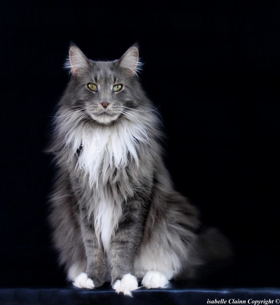 Chat maine coon G2.JPG