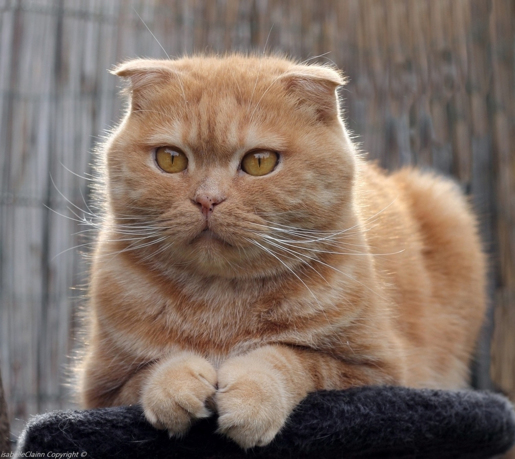 chat scottish fold.JPG