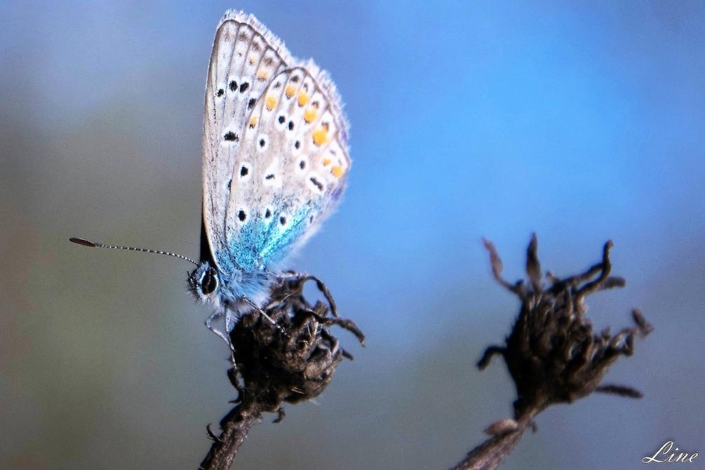 azuré bleu.JPG