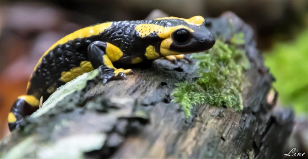 salamandre tachetée.JPG