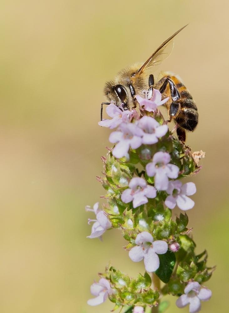 vraie abeille.jpg