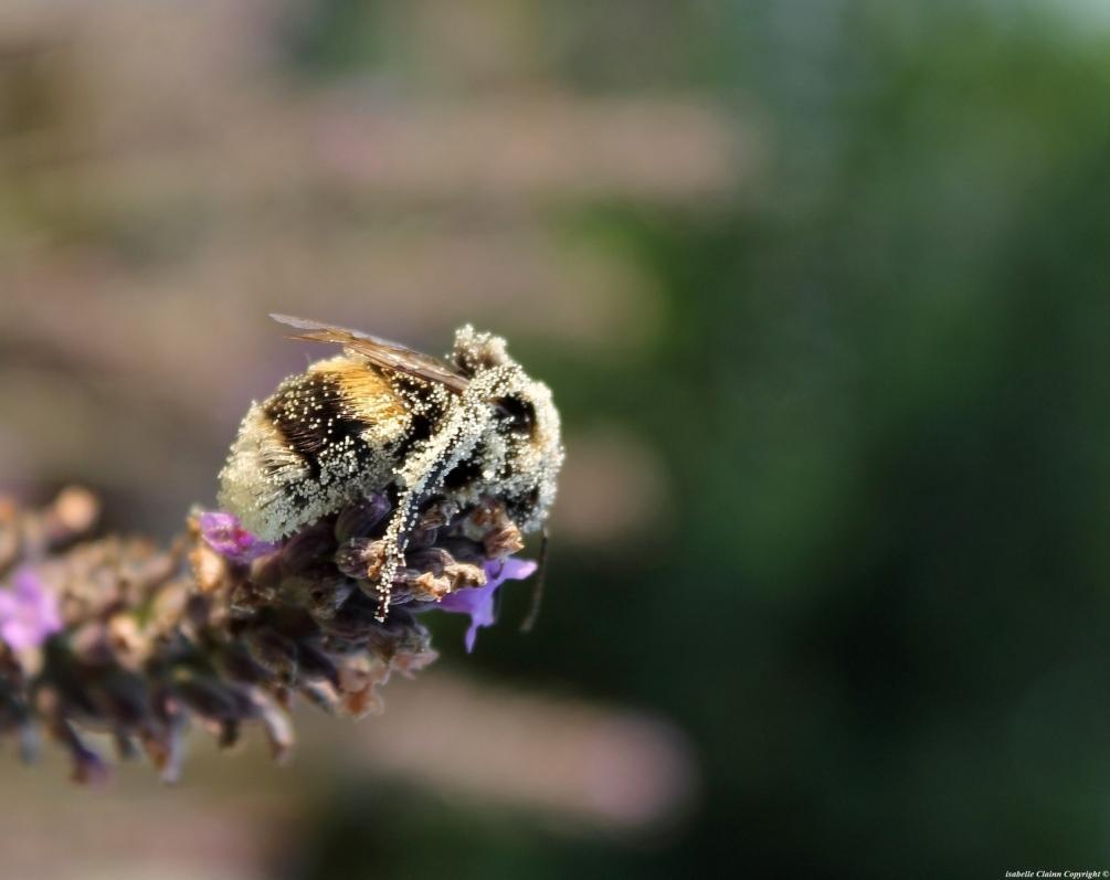 abeille pollen.JPG