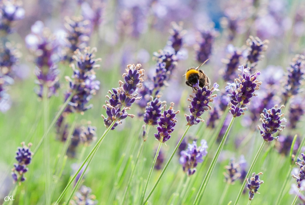 Lavande abeille projet IMG_8969_modifié-1.jpg