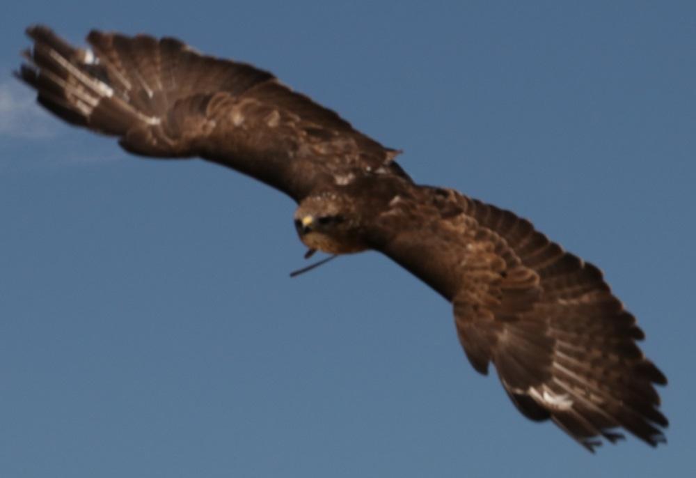 faucon1.jpg