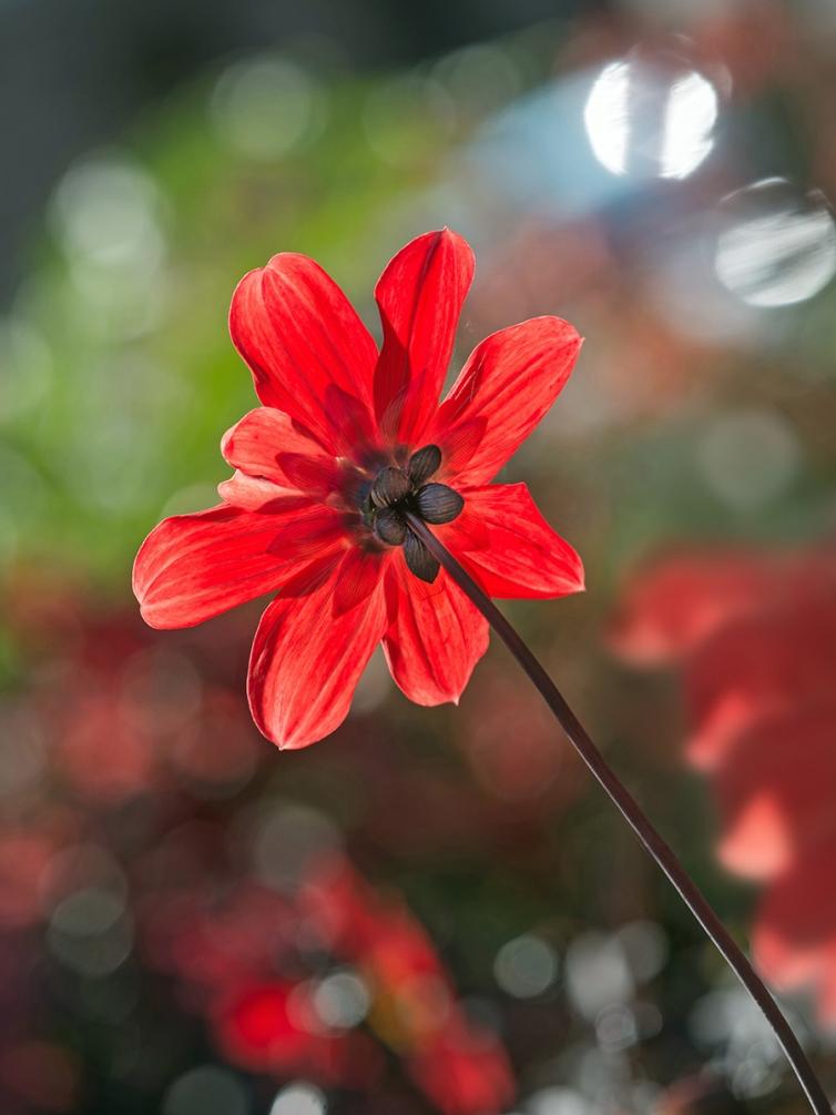 fleur rouge (3).jpg