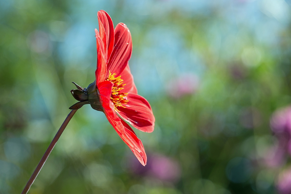 fleur rouge de profil.jpg