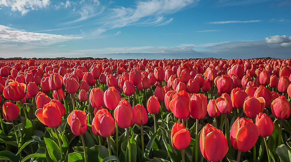 tulipes1.jpg.5a8f39ab2ad99d4ab8945275da617acd.jpg