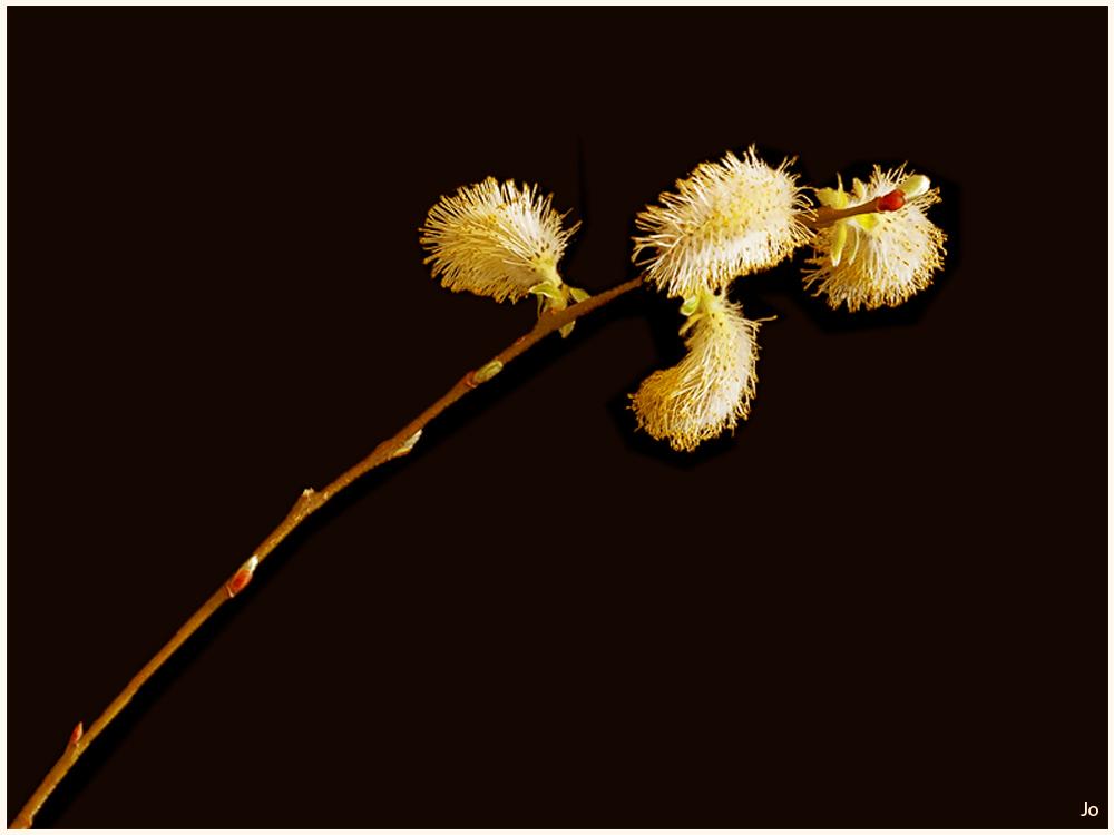 Une branche-de-Salix - Copie.jpg