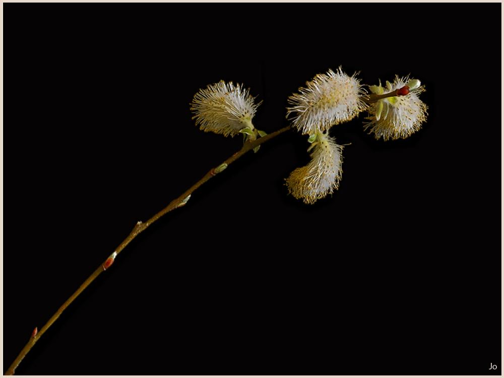 Une branche-de-Salix modif  -.jpg