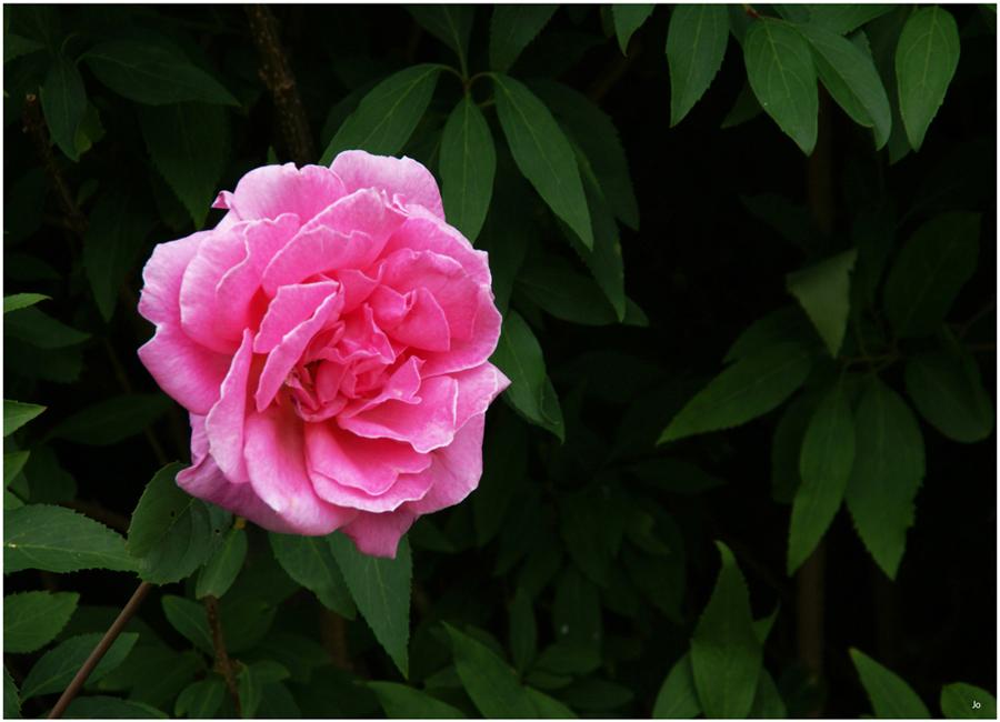 Une Rose.jpg