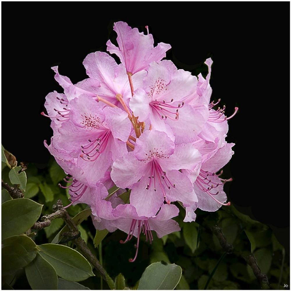 un-rhododendron.jpg