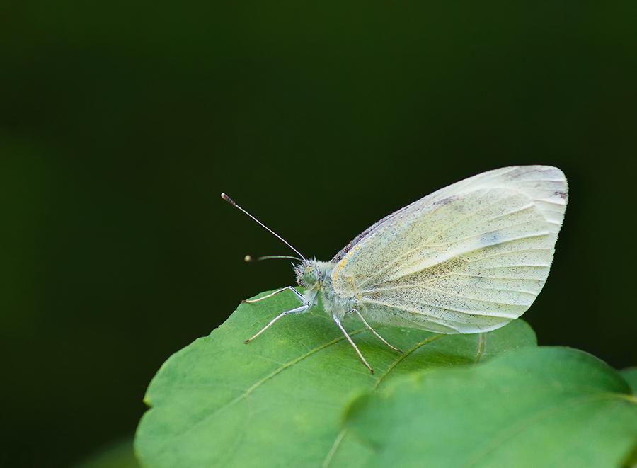 Papillon blanc 02.jpg