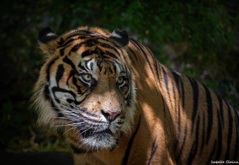 tigre 2 fp.jpg