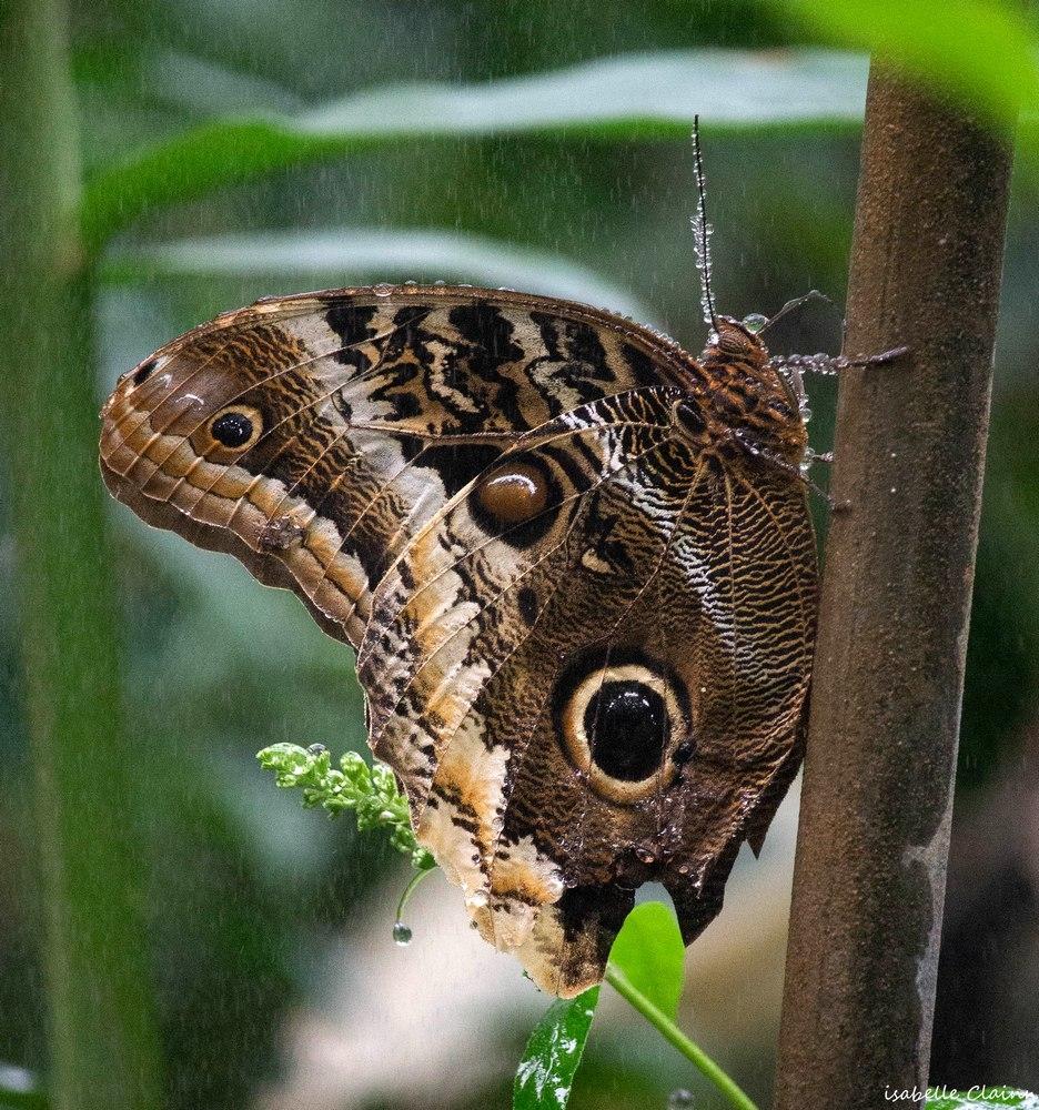 papillon D fp.jpg