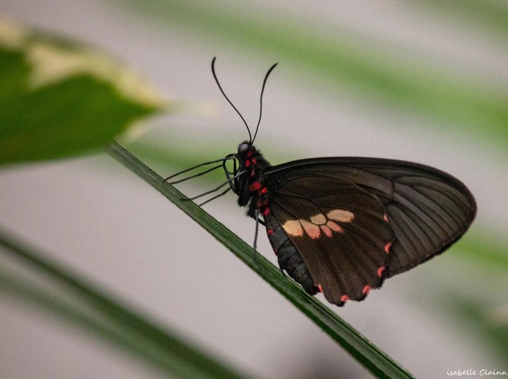 papillon B fp.jpg