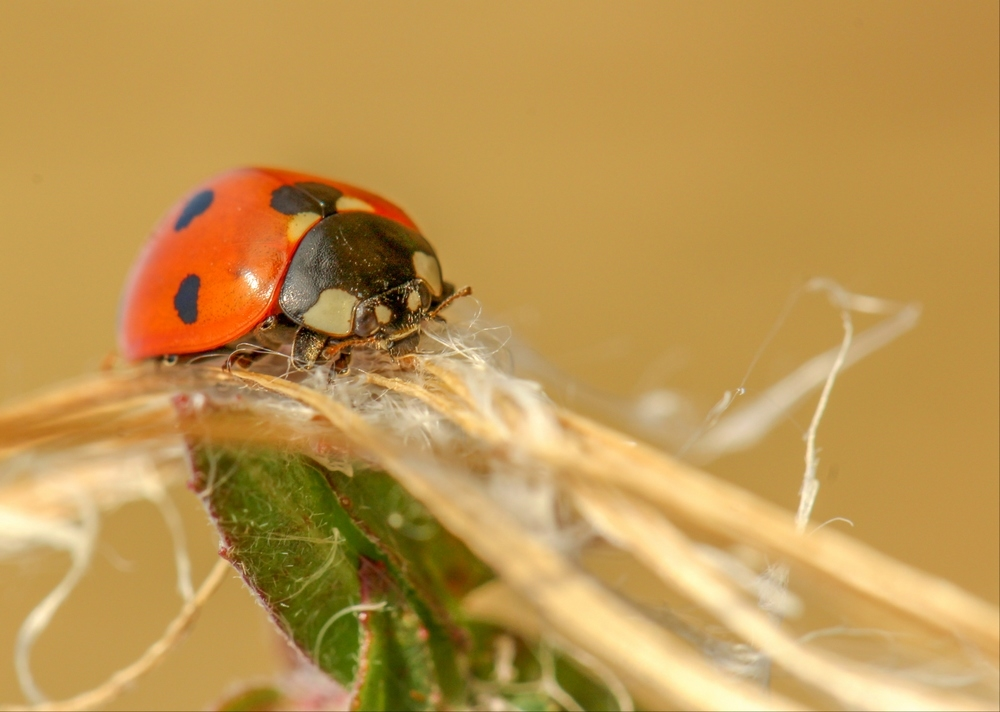 Coccinelle 2 red.jpeg