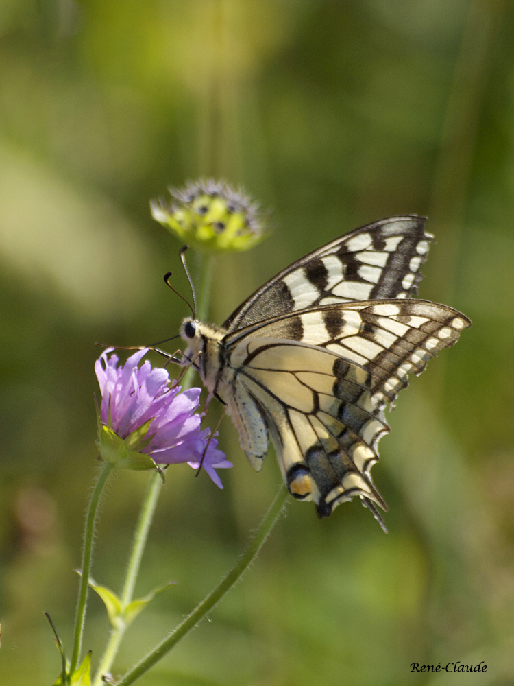 Machaon 06.jpg