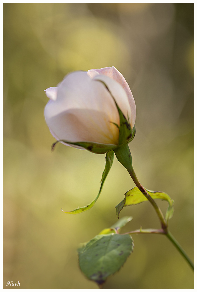Rose_1.JPG.e8970a00e13a5ec07f6668a68c9b8740.JPG