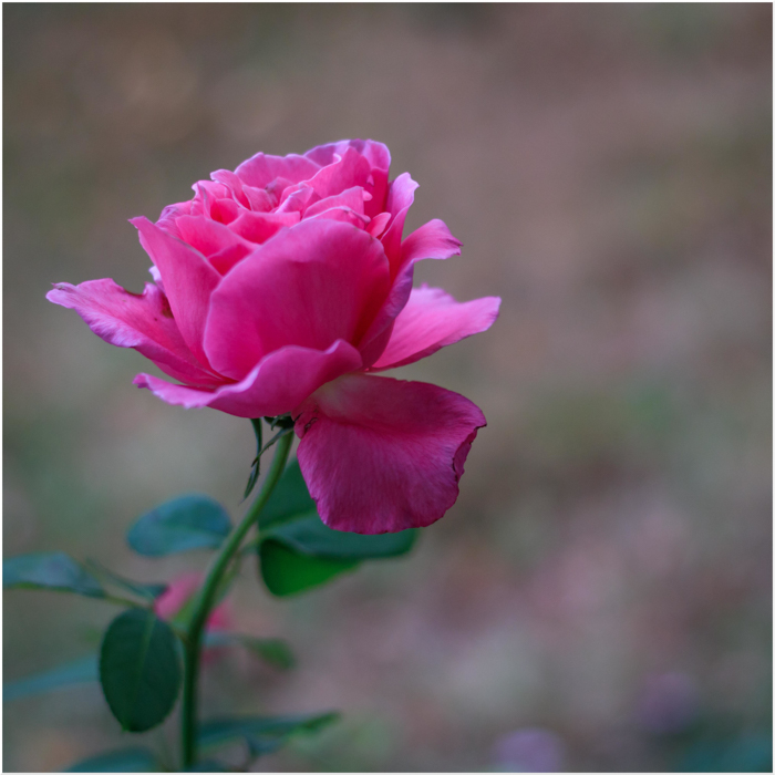 rose A.jpg