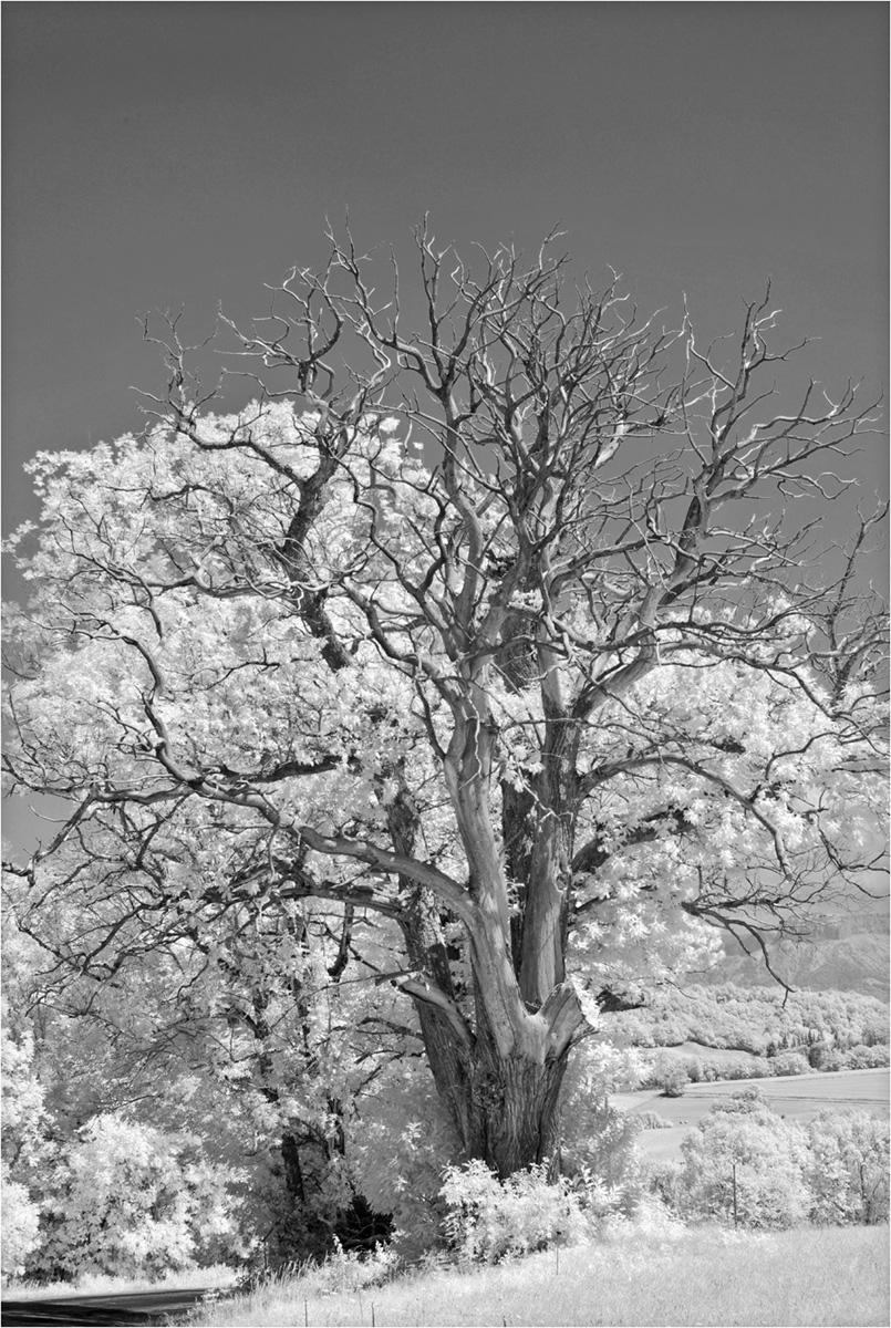 Vieux chêne