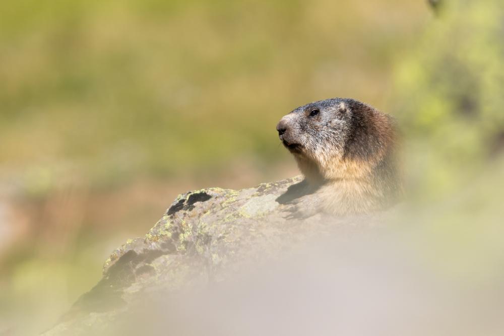 Marmotte 2.jpg