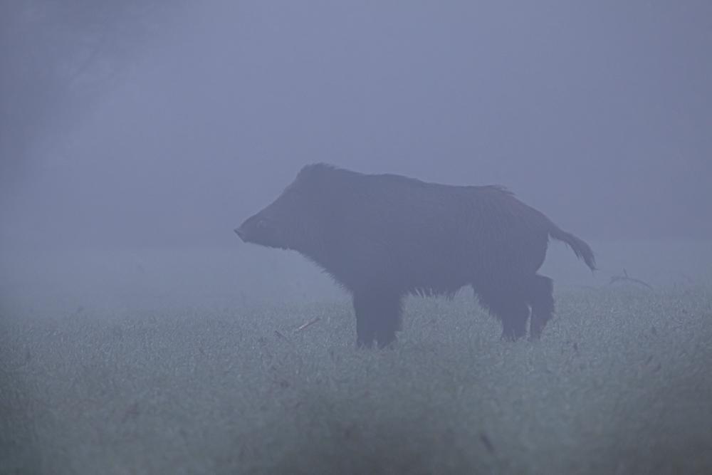 sanglier dans la brume.jpg