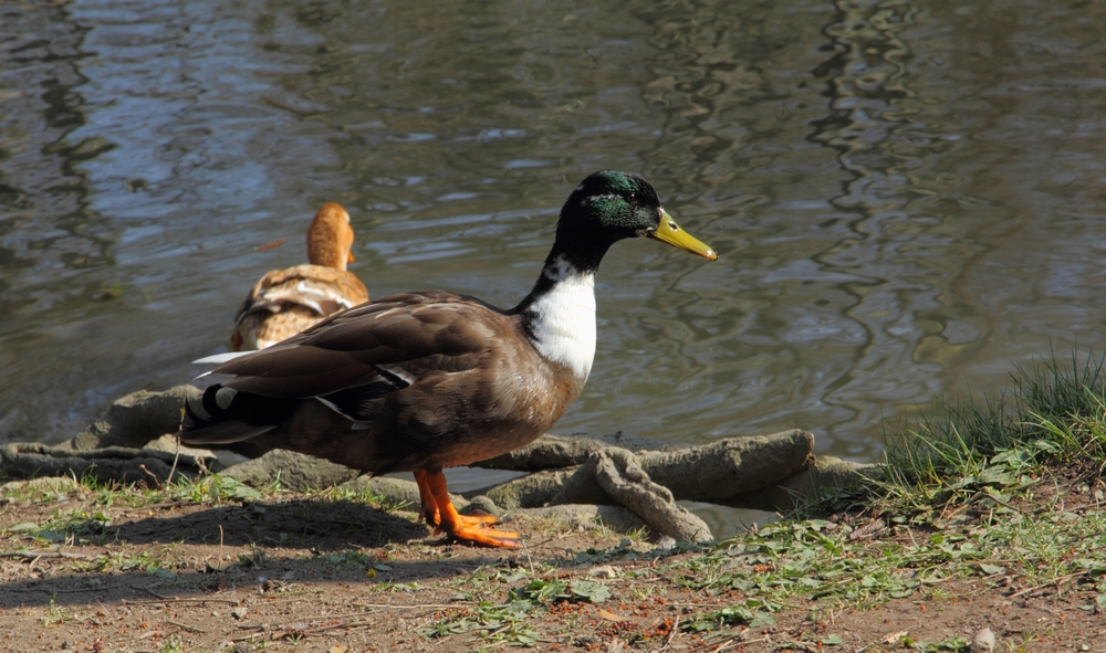 IMG_0440  TheDuck.JPG