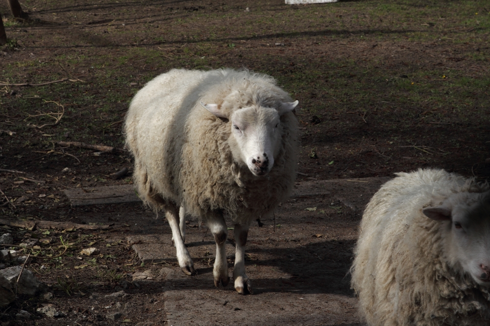 IMG_0422 Mouton de Panurge.JPG