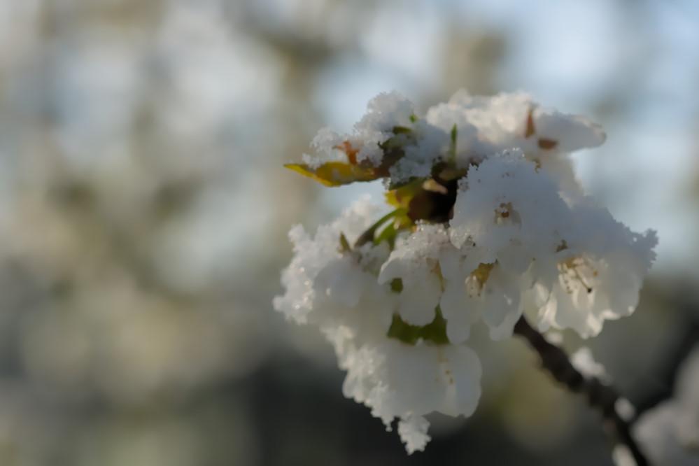 Fleurs cerisier sous la neige.JPG