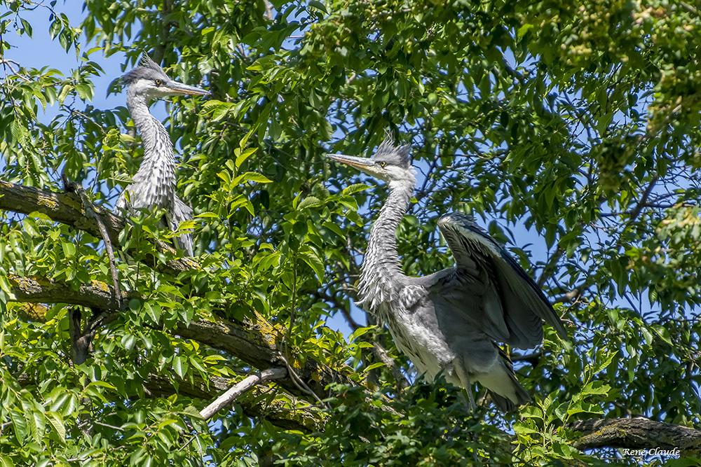 Herons 16.jpg
