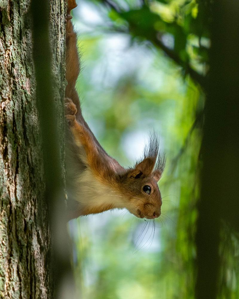 ecureuil-roux.jpg